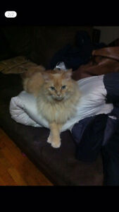 Lost Female Long-Haired Orange Cat Near 8th and Lorne
