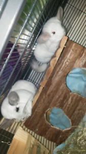 Chinchillas with everything you need!! Needs to go ASAP