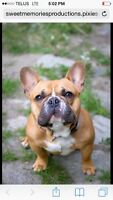 pure breed french bulldog pups (from terrace bc)