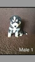 ADORABLE PURE SIBERIAN HUSKY PUPPIES FOR SALE!!