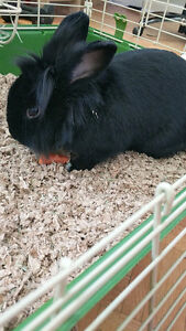 Lion head bunny for rehome