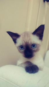 Female Seal Point Siamese Kitten