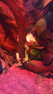 Finding a new home for my crested gecko