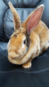 Beautiful & Litter Trained Soft Calico Rex Female Bunny