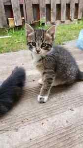 8 weeks old female kitten for sale