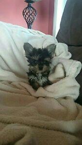 Adorable TINY Morkie Puppies!