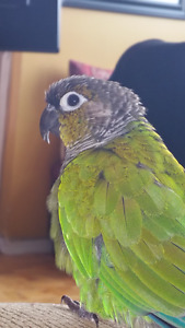 Hand Raised Green Cheek Conure and Cage for SALE