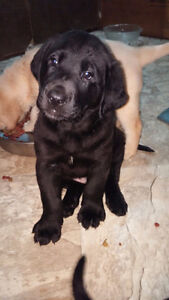 BLACK  LAB PUPPIES - ready to go