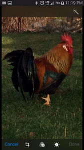 Free light brown leghorn roosters