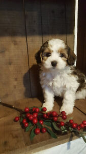 Yorkie Poo Puppies Adopt Or Rehome Pets In Ontario Kijiji
