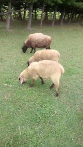 Goats, Lambs