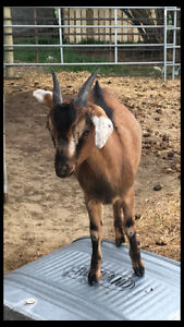 Young Alpine Beor cross goat