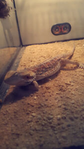 Sandfire red bearded dragon for sale