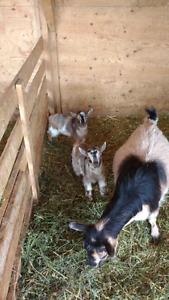 Registered Nigerian dwarf buck for sale