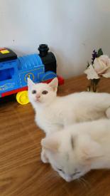 White male kittens