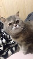 Exotic Shorthair to good home