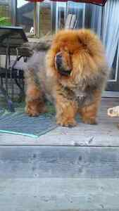 Adult female chow chow for sale ! Kitchener / Waterloo Kitchener Area image 1