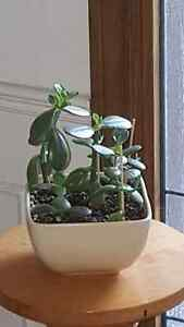Jade plant grouping in ceramic planter