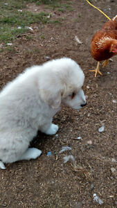 Livestock Guardian Puppies for Sale!