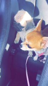 Pure pedigree Pug and Chihuahua cross jack Russel 1000 for both or acceptable offers.