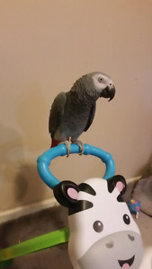 5 years old congo african   grey