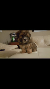 Morkie Puppy (Male) SOLD