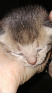 Chatons abyssins bleus