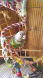Brown headed Parrot and Cage