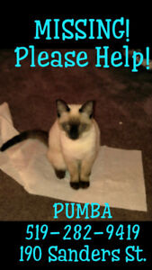 Pumba - Lost Male Cat - Seal Point Siamese (Beige and Dark Brown