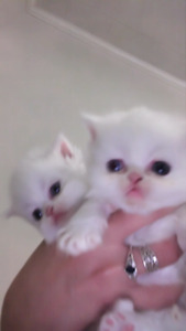 White Persian and Persian/Himalayan Kittens Ready This Weekend.