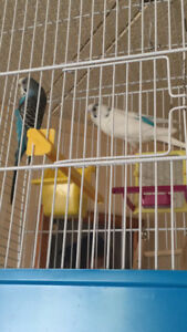2 free beautiful budgies to give away to a good home