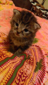 Manx kittens and cats
