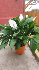 Peace Lily Plant (Living House Plant)