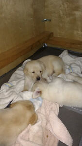 ***SOLD*** Puppies, Ready on September 8th. First Come,