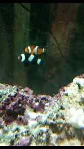 two saltwater clown fish only 60$