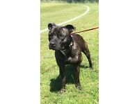 Staffordshire bull terrier for sale ( bitch)