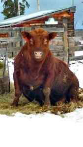 Purebred Registered Red Angus Bull