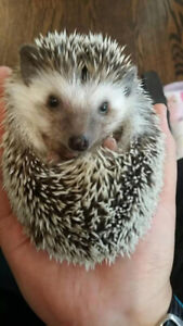 Three month male hedgehog for sale___$100