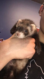 Baby ferrets at The Extreme Aquarium here in Sarnia!!
