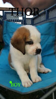ST.BERNARD PUPPIES FOR SALE
