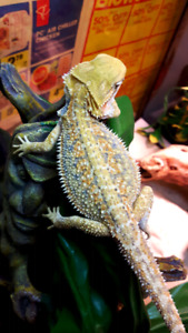 Gorgeous bearded dragons available