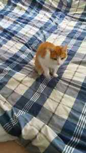 Loving Family Cat in Need of New Home! Kawartha Lakes Peterborough Area image 2