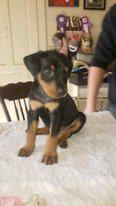 AKC/CKC registered German Pinscher Puppies