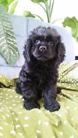 one beautiful cocker spaniel male puppy for sale