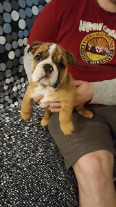 ENGLISH and FRENCH BULLDOG PUPPIES TOP QUALITY !!!!!!