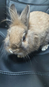 Looking for a Sweet & Soft Small  Bunny to Add to Your Family? Oakville / Halton Region Toronto (GTA) image 3