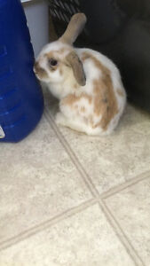 Selling 5 month old male dwarf lop bunny