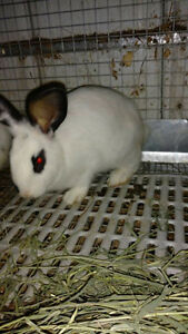 Three  mth old Cg X Flemesh Doe Rabbit for sale,