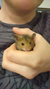 Free Baby Hamster - Born in July