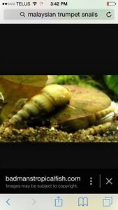 Snails Fresh Water Ram Horn Green Pond Malaysian Trumpet